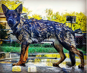 Tippett Creek Dog Soap Review by Koba